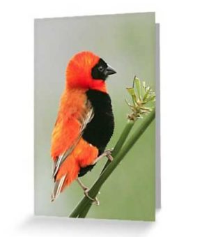 red-bishop-greeting-card